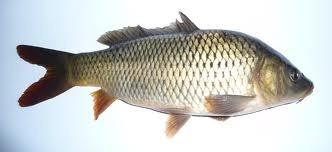 pez carpa srecetas es