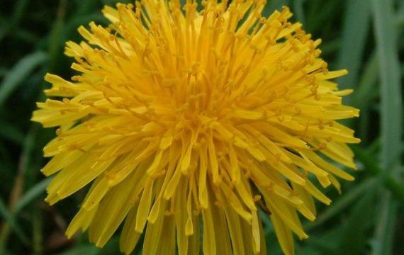 Dandelion -  diente de león